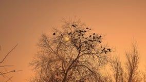 Zmierzch wron kierdel ptaki siedzi na drzewnym zimy natury zimnie Fotografia Royalty Free