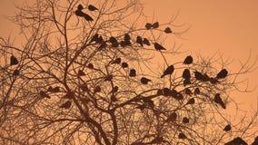 Zmierzch wron kierdel ptaki siedzi na naturze drzewnego zimy zimno Fotografia Stock