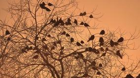 Zmierzch wron kierdel ptaki siedzi na naturze drzewnego zimy zimno Fotografia Royalty Free
