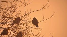 Zmierzch wron natury kierdel ptaki siedzi na drzewnej zimnej zimie Obraz Royalty Free