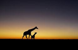 Zmierzch żyrafy sylwetki Fotografia Royalty Free