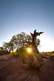 zmierzchu jałowcowy węźlasty drzewo Obraz Royalty Free