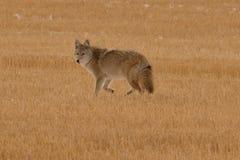 Zmierzchu kojot Zdjęcia Stock