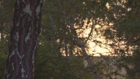 Zmierzchu wschodu słońca światło przez brzoza liści zbiory
