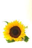 zmierzyć się z przedniego słonecznika Obrazy Stock