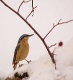Bargiel w śniegu Zdjęcia Royalty Free