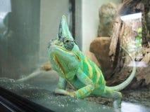 Zmonopolizowany kameleon Zdjęcia Royalty Free
