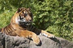 Zmonopolizowany tygrys Zdjęcie Royalty Free