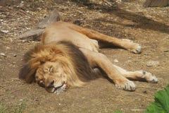 Zmonopolizowany zoo lew bierze drzemkę Obrazy Stock