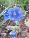 Zmrok - błękitni Wildflowers fotografia stock