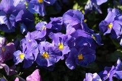 Zmrok - błękitny Dziki pansy lub altówka tricolor mali dzicy kwiaty z jaskrawymi otwartymi płatkami gęsto zasadzającymi w miejsco obraz royalty free