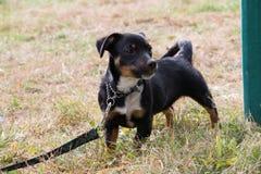 Zmrok barwił psa na prowadzeniu w ogródzie zdjęcie royalty free