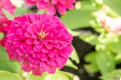 Zmrok cyni różowy kwiat zdjęcie stock