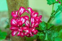 Zmrok - czerwieni pelargonium dwoiści kwiaty zdjęcia stock