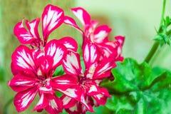 Zmrok - czerwieni pelargonium dwoiści kwiaty zdjęcie royalty free
