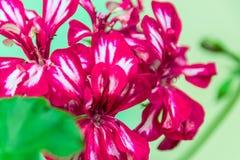 Zmrok - czerwieni pelargonium dwoiści kwiaty fotografia stock