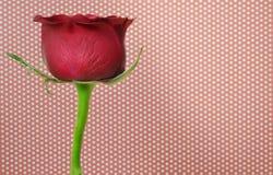 Zmrok - czerwieni róża Zdjęcie Stock