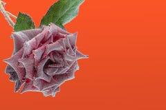 Zmrok - czerwieni róża pod wodą, zakrywającą z lotniczymi bąblami Zdjęcie Stock
