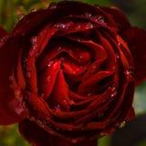 zmrok - czerwieni róża Zdjęcie Royalty Free