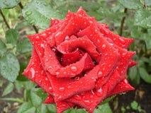 Zmrok - czerwieni róży kwiat na deszczowym dniu Obrazy Royalty Free