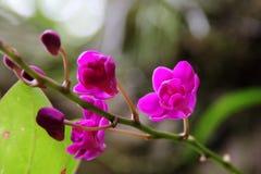 Zmrok - czerwona orchidea (Doritis pulcherrima) Zdjęcia Royalty Free