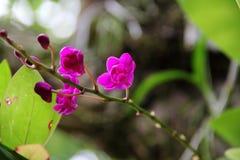 Zmrok - czerwona orchidea (Doritis pulcherrima) Obraz Royalty Free
