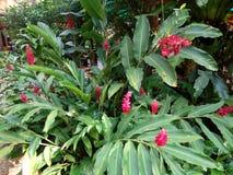 Zmrok - czerwoni kwiaty Tajlandzki ziele Fotografia Stock