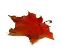 Zmrok - czerwony jesień liść klonowy na bielu Zdjęcia Royalty Free