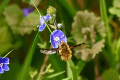 Zmrok ostrząca pszczoły komarnica Fotografia Stock