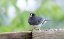 Zmrok Przyglądający się Junco ptaka śpiewającego łasowania ptaka ziarno, Blue Ridge Mountains, Pólnocna Karolina Fotografia Stock