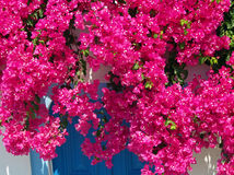 Zmrok Różowy Bouganvillea Zdjęcia Royalty Free