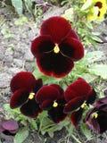 Zmroku - czerwona i żółta pansy kwiatów rewolucjonistka' Fotografia Stock
