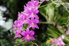 Zmroku Dendrobium phalaenopsis hybrydu Różowa orchidea Obraz Royalty Free