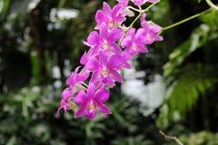 Zmroku Dendrobium phalaenopsis hybrydu Różowa orchidea Obraz Stock