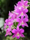 Zmroku Dendrobium phalaenopsis hybrydu Różowa orchidea Zdjęcie Royalty Free