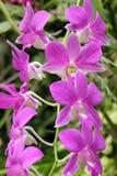 Zmroku Dendrobium phalaenopsis hybrydu Różowa orchidea Obrazy Royalty Free