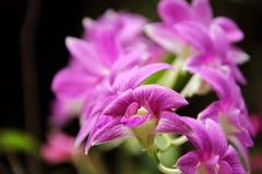 Zmroku Dendrobium phalaenopsis hybrydu Różowa orchidea Zdjęcia Stock