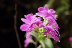 Zmroku Dendrobium phalaenopsis hybrydu Różowa orchidea Fotografia Royalty Free