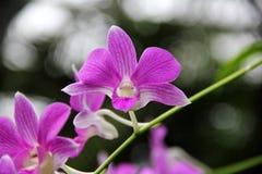 Zmroku Dendrobium phalaenopsis hybrydu Różowa orchidea Zdjęcia Royalty Free