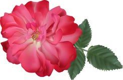Zmroku różowy brier odizolowywający na białym tle ilustracji