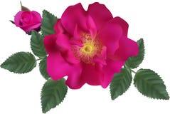 Zmroku różowy brier w zieleń liściach odizolowywających na bielu ilustracji
