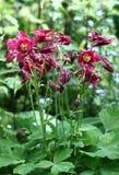 Zmroku różowy aquilegia. Zdjęcie Stock