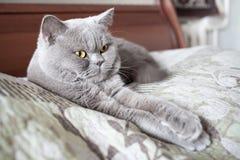 Znacząco kotów kłamstwa, rysują out łapy Obrazy Royalty Free
