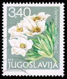 Znaczek drukujący w Jugosławia pokazuje Anemonowego narcissiflora L Obrazy Stock