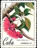 Znaczek drukujący w Kuba pokazuje wizerunek Eugenia Malaccencis, malay jabłko około 1967, fotografia stock