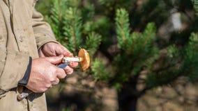 Znajdujący Leccinum scabrum w rękach pieczarkowy zbieracz Pieczarkowy polowanie obraz royalty free