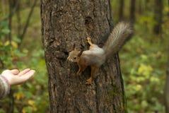 Znajomość z wiewiórką obrazy royalty free