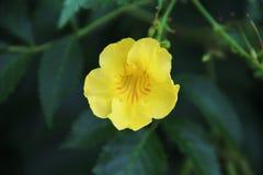 Znakomity żółty kwiat Obraz Royalty Free