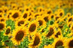 znakomity słonecznik obrazy stock