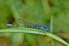 Znany Bluet Damselfly umieszczający na trawie Zdjęcia Royalty Free